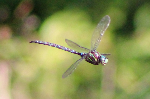 dragonfly-023