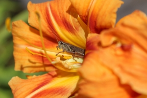day lily grasshopper