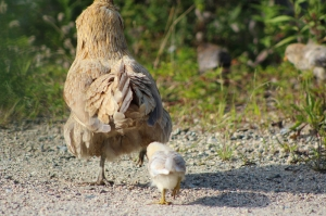 mama chicken and baby on the maine farm