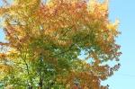 Glorious maple