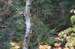 woodpecker-060