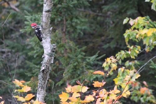woodpecker-061