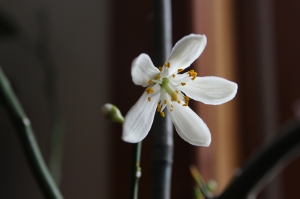 meyer lemon blossom