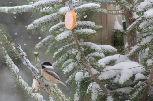 chickadee in the Christmas tree