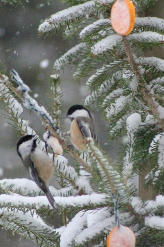 chickadees in New Year's tree