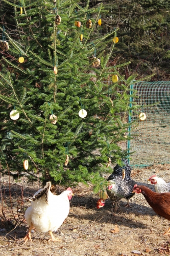chickens enjoying the Christmas tree