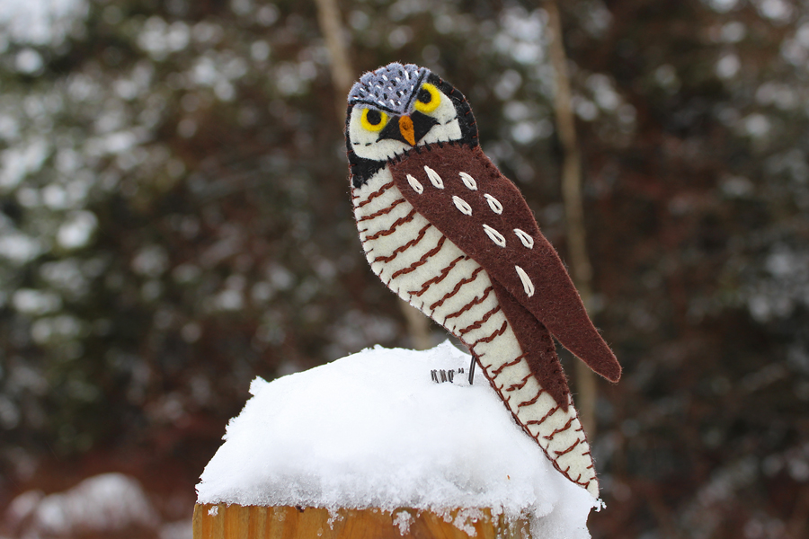 The Nomadic Northern Hawk Owl