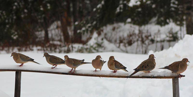 Mourning Doves in Waiting