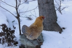 snow-blind-chicken