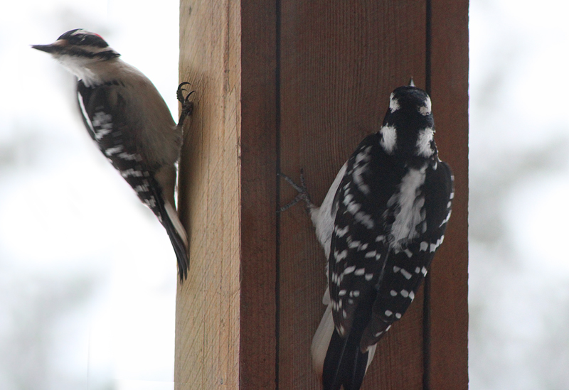 Downy Woodpecker Pair Visits