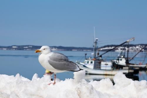 gulls-458