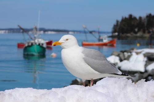 gulls-466