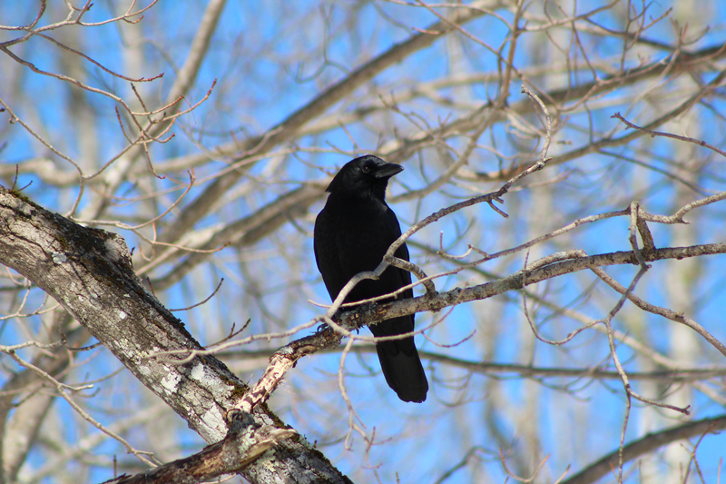 Inky Beauty of the Crow