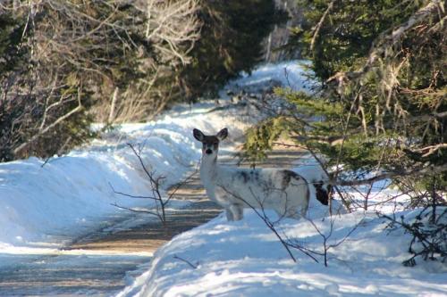 white-deer-1