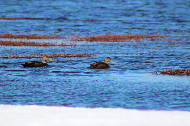 Swimming on the Blueberry Barrens