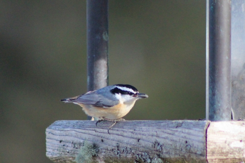 nuthatchT