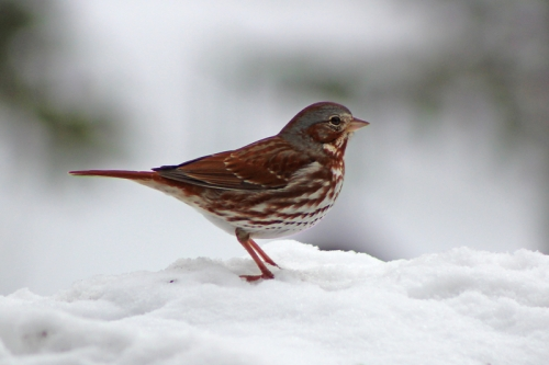 spring-birds-059