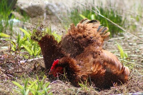 rhode island red having a dust bath