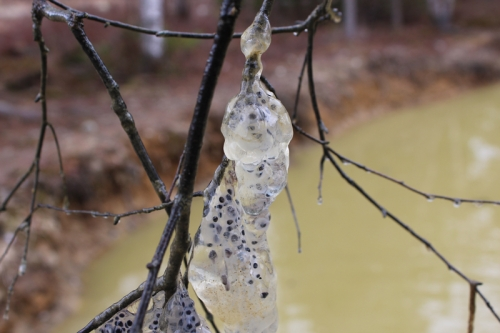 frog eggs in the pond