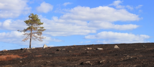lone pine on blueberry barrens