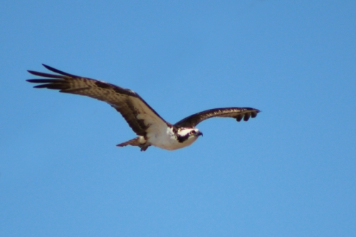 osprey-188