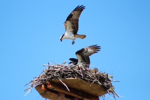 osprey-257
