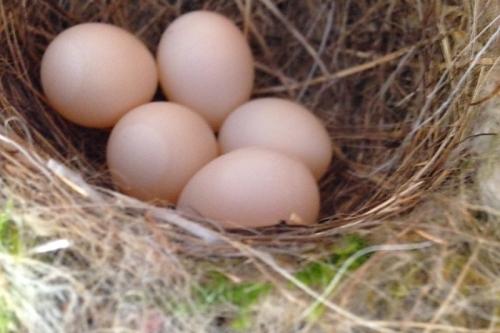 phoebe-eggs