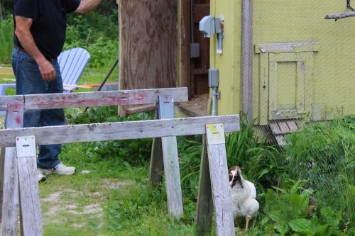 escaped chicken