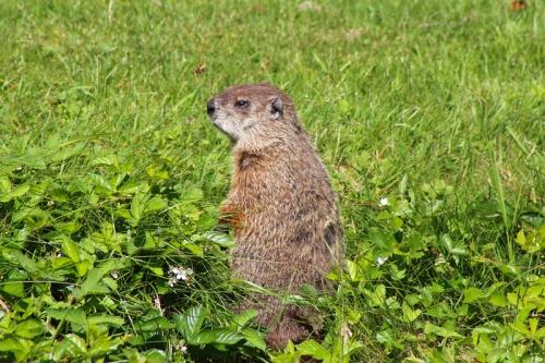 Maine groundhog