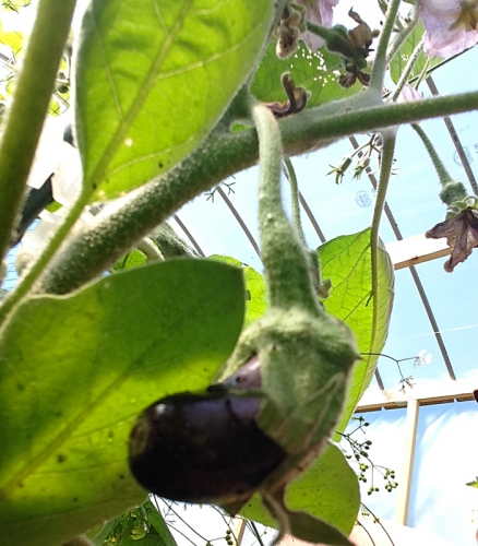 We have our first baby eggplant.