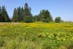 goldenrod-field