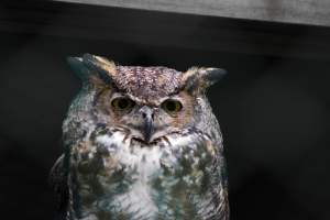Great Horned Owl at Maine Wildlife Park