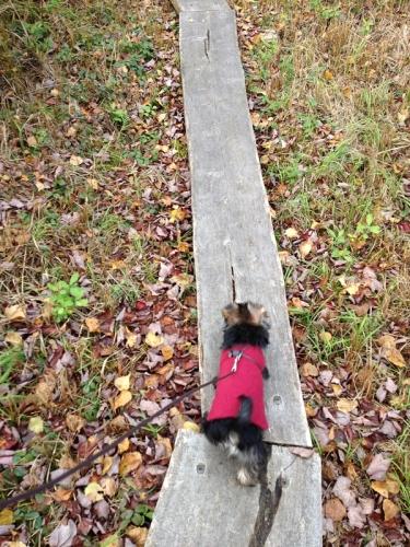 Yorkie on a hike