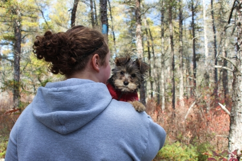 Yorkie being carried on a hike