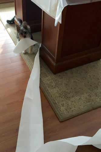 dog running off with paper towels