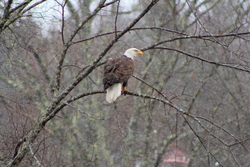 eagle_3154