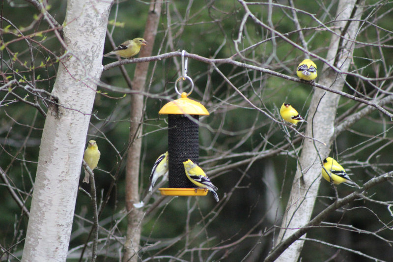 New Goldfinch Feeder