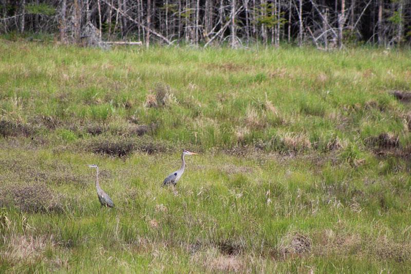 Herons on the Marsh