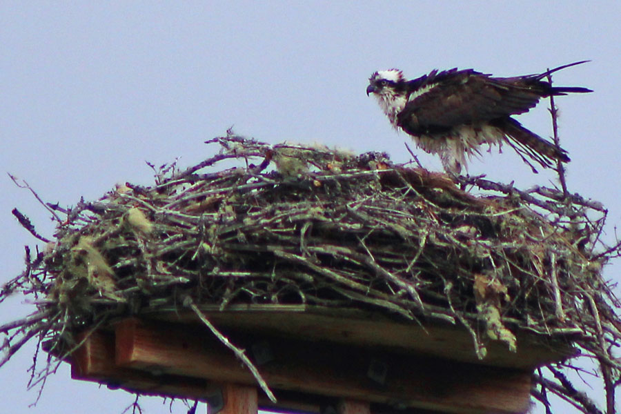 Osprey Sighting