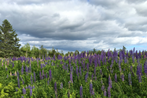 lupins1