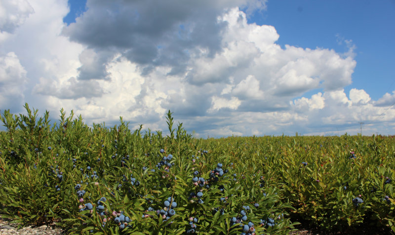 Panoramic Blueberry Barrens