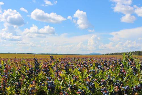 Wumans berries deblois maine