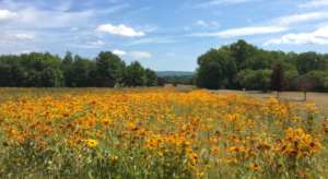 Berkshires through a field of gold wildflowers