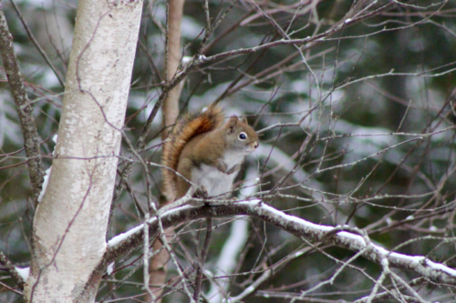 red squirrel studying the bird tree