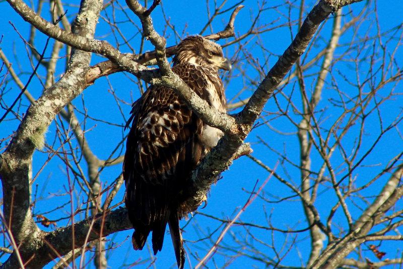 Morning Eagle Sighting