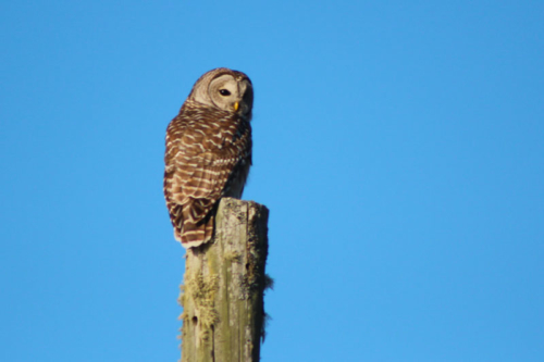 barred owl on a power line