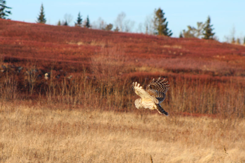 barred owl on the blueberry barrens