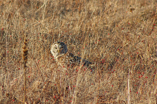 barred owl in the field