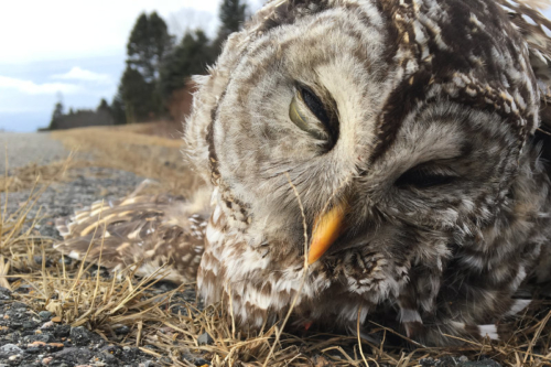 dead barred owl