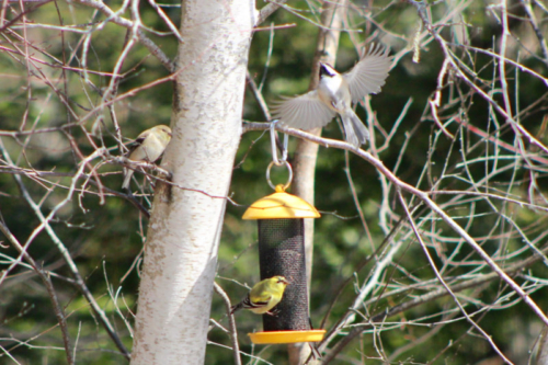 goldfinches and chickadee